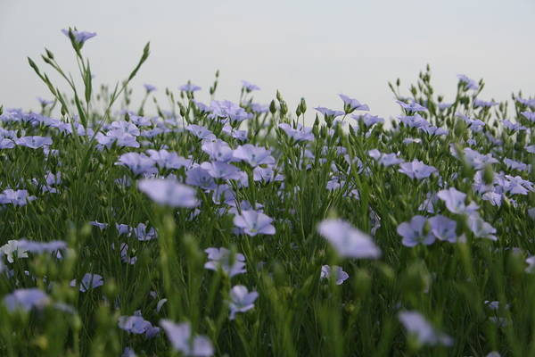 Photograph - Flax V by Dylan Punke