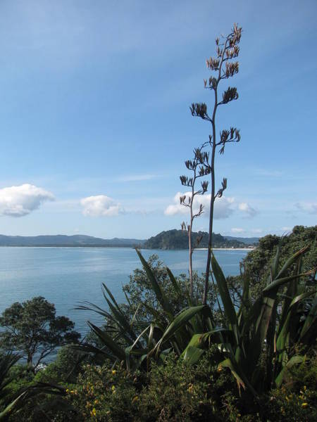 Pohutukawa Photograph - Flax Views by Joanne  Oram