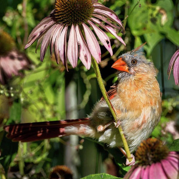 Photograph - Fledgling Northern Cardinal Square by Bill Wakeley