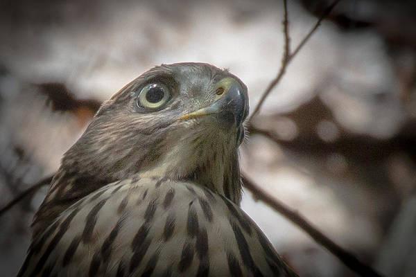 Photograph - Fledgling Red Shouldered Hawk by Richard Goldman