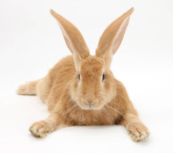 Photograph - Flemish Giant Rabbit by Mark Taylor