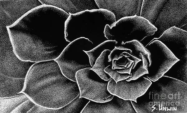 Scratchboard Drawing - Fleur Blanc Succulent by Sheryl Unwin