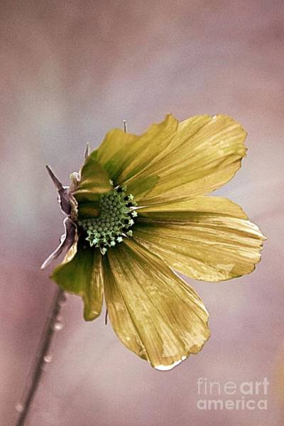 Yellow Rose Photograph - Fleurina 02 - 14b by Variance Collections