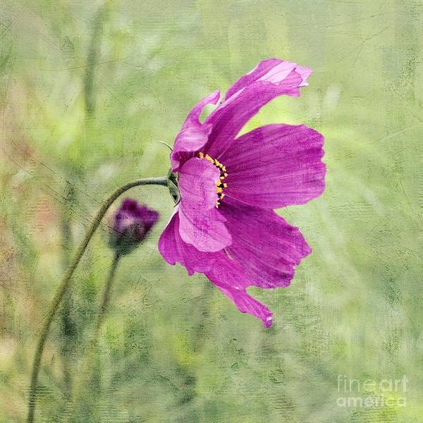 Mauve Photograph - Fleurina - V09bt2b by Variance Collections