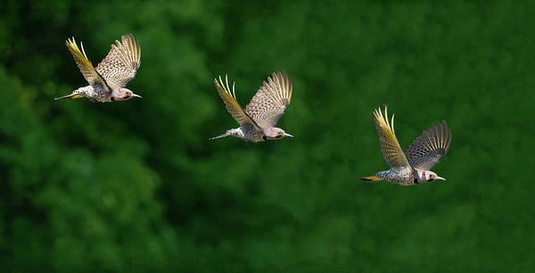 Northern Flicker Photograph - Flicker Flight by Art Cole