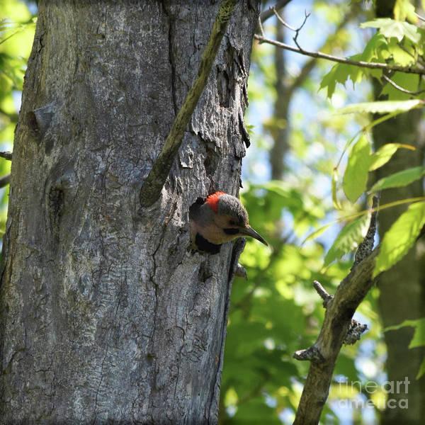 Northern Flicker Photograph - Flicker In A Tree by William Tasker