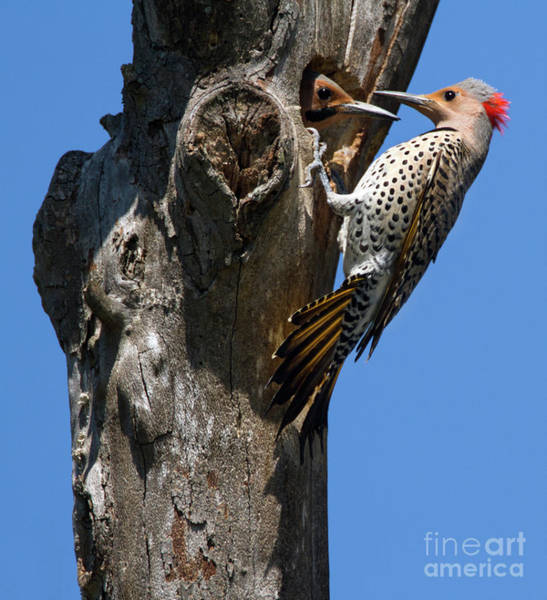 Northern Flicker Photograph - Flicker Tag Team by Art Cole
