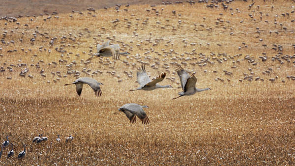 Photograph - Flight Across The Sandhills by Susan Rissi Tregoning