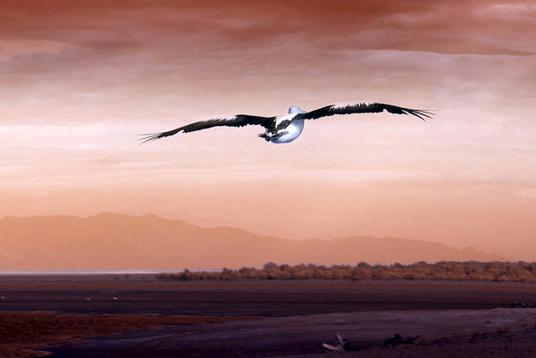 Pelican Wall Art - Photograph - Flight by Holly Kempe