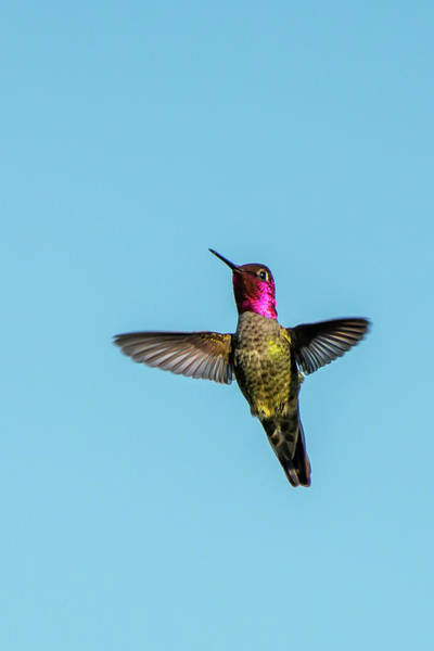 Photograph - Flight Of A Hummingbird by Paul Johnson