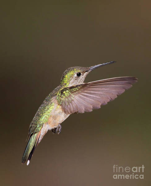 Wall Art - Photograph - Flight Of The Broad Tailed Hummingbird by Ruth Jolly