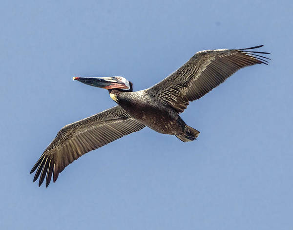 Photograph - Flight Of The Brown Pelican by William Bitman