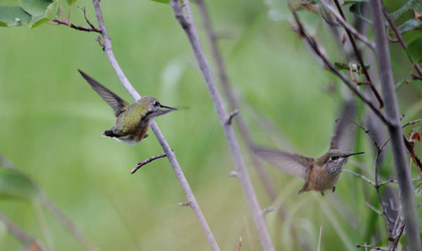 Selasphorus Photograph - Flight Of The Calliopes by Whispering Peaks Photography