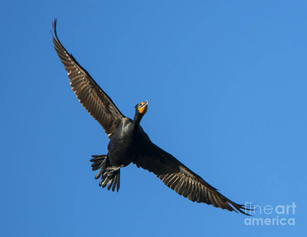 Double Crested Cormorant Photograph - Flight Of The Comorant by Mike Dawson
