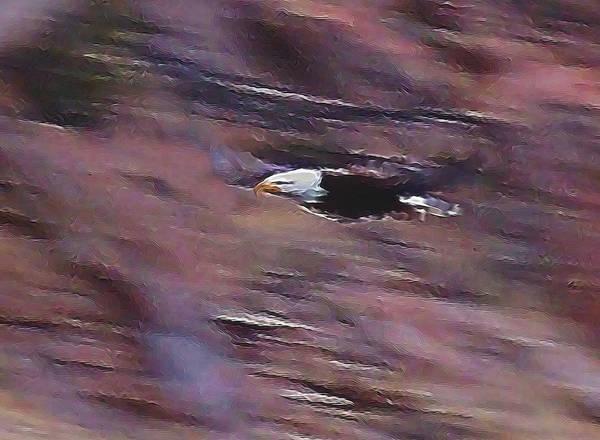 Colorado Wildlife Digital Art - Flight Of The Eagle Digital Art by Ernie Echols