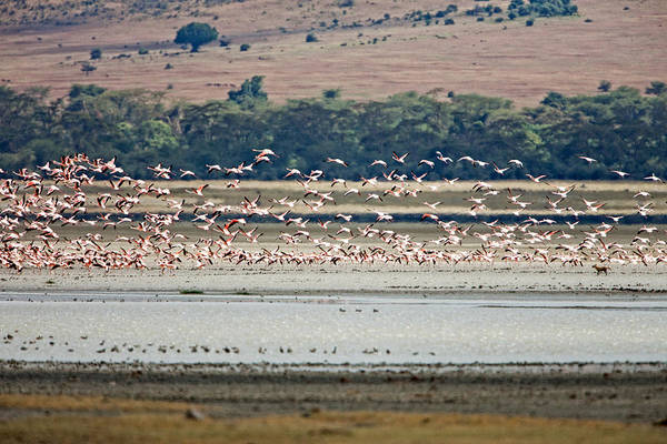 Photograph - Flight Of The Flamingos by John  Nickerson
