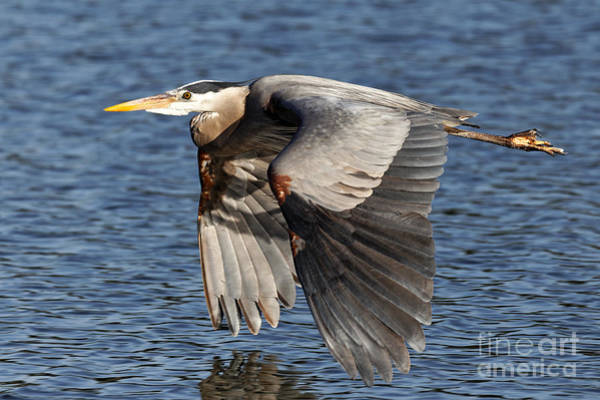Photograph - Great Blue Heron Wing Beats by Sue Harper