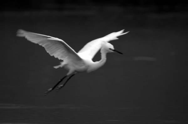 Photograph - Flight Of The Great Egret by Brad Scott