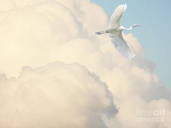 Photograph - Flight Of The Great White Egret by Wingsdomain Art and Photography