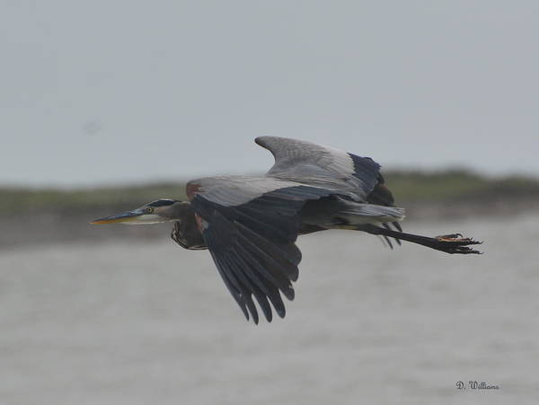 Photograph - Flight Of The Heron by Dan Williams