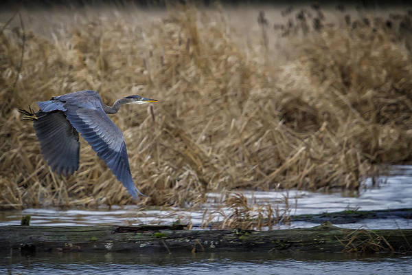 Photograph - Flight Of The Heron No. 2 by Belinda Greb