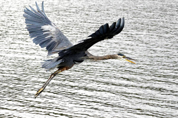 Photograph - Flight Of The Heron by Sue Harper