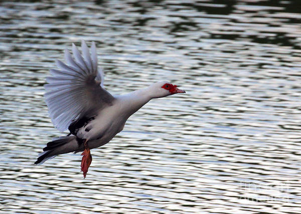 Photograph - Flight Of The Muscovy In Color by Jennifer Robin