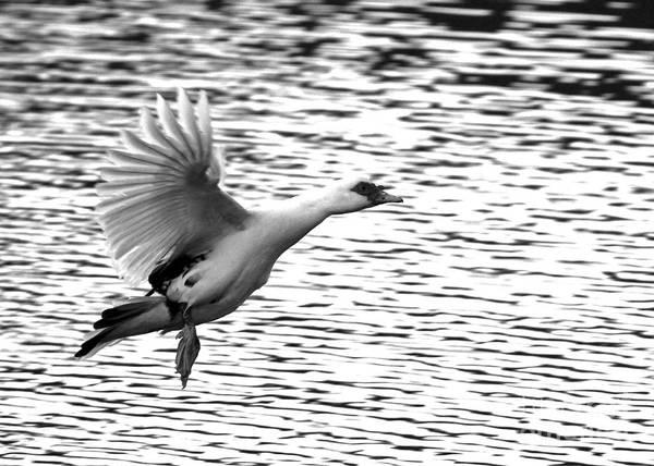 Photograph - Flight Of The Muscovy by Jennifer Robin