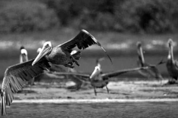 Photograph - Flight Of The Pelicans by Brad Scott