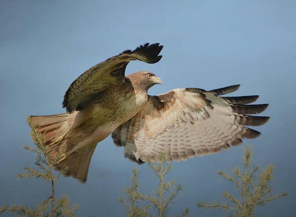 Photograph - Flight Of The Raptor by Fraida Gutovich