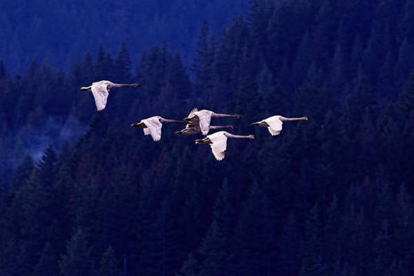 Swan Photograph - Flight Of The Swans by Sharon Talson