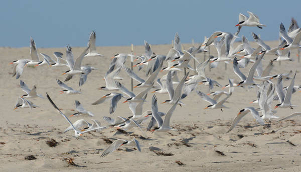 Photograph - Flight Of The Terns by Fraida Gutovich