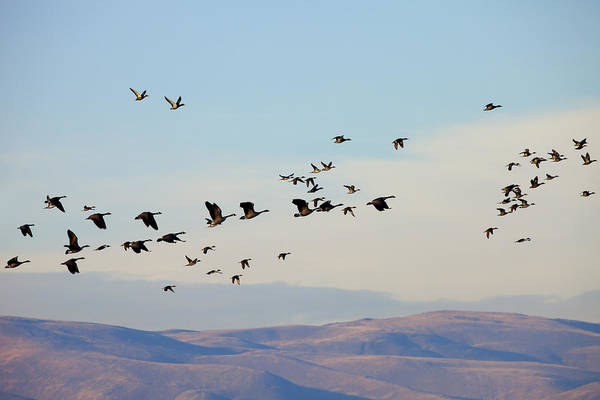 Canadian Geese Photograph - Flight Of The Waterfowl by Mike  Dawson