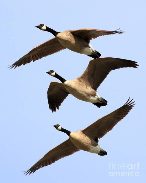 Photograph - Flight Of Three Geese by Wingsdomain Art and Photography