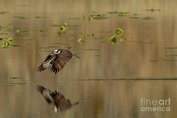 Photograph - Flight On Golden Pond by Beve Brown-Clark Photography