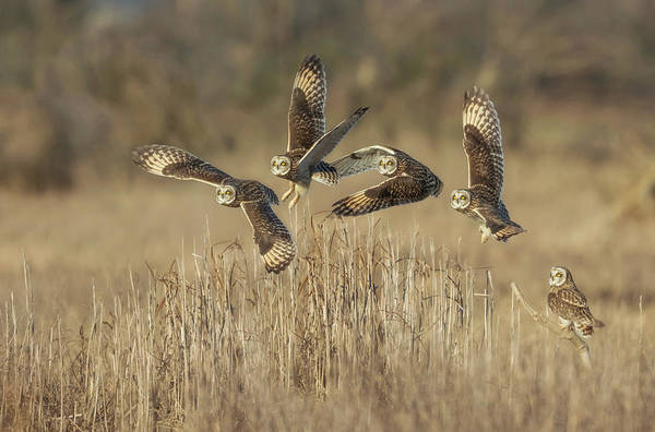 Owl In Flight Photograph - Flight Sequence by Angie Vogel