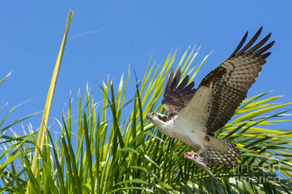 Ospreys Photograph - Flight Through The Palms by Quinn Sedam