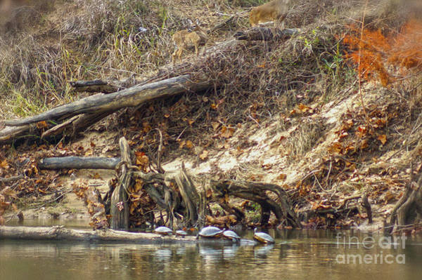 Photograph - Flint River Turtles And Deer by Kim Pate