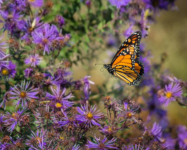 Wall Art - Photograph - Flitting Among The Asters by Bill Pevlor