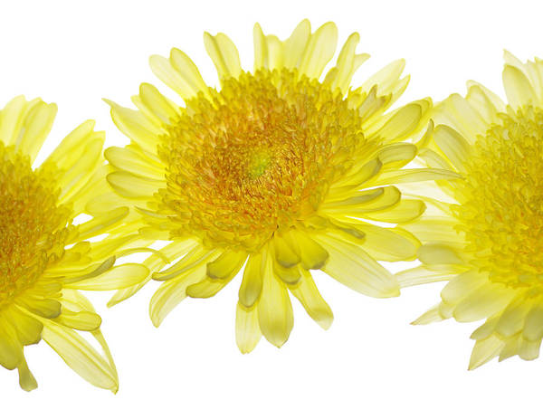 Mums Photograph - Floaters by Rebecca Cozart