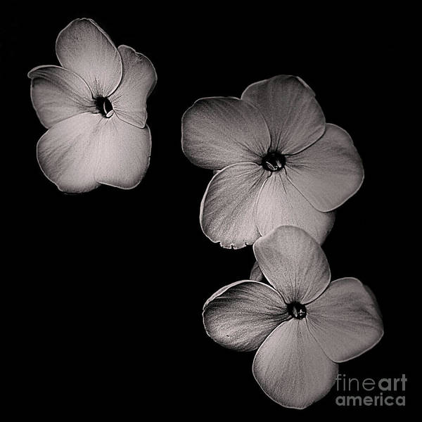 Photograph - Floating Flowers In Black And White by Smilin Eyes  Treasures