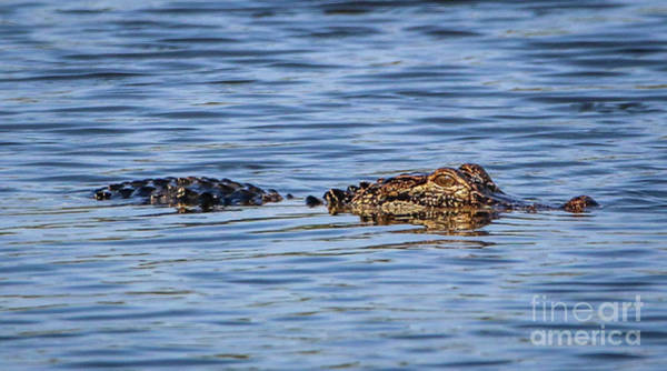 Photograph - Floating Gator by Tom Claud