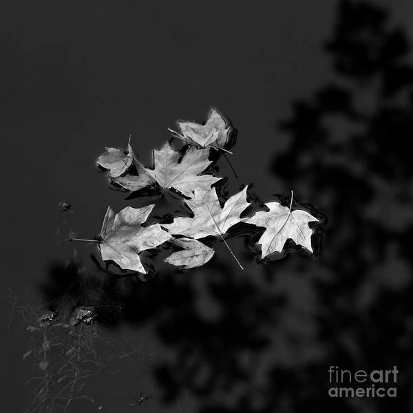 Photograph - Floating Leaves by Patrick M Lynch