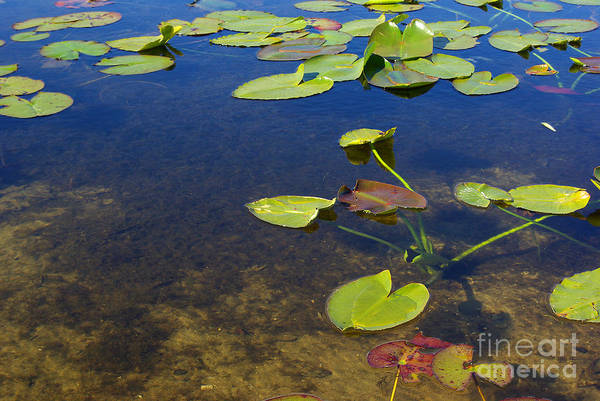 Wall Art - Photograph - Floating Leaves by Zal Latzkovich