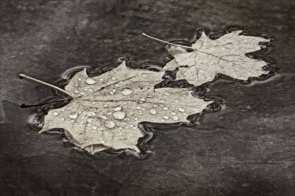 Photograph - Floating Maple Leaves Bw by Theo O'Connor