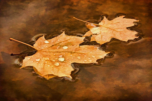Photograph - Floating Maple Leaves Pnt by Theo O'Connor