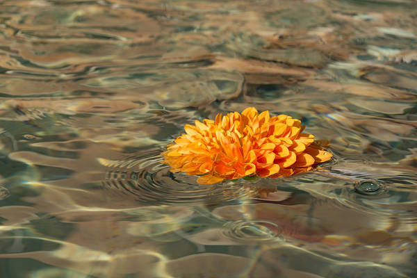 Photograph - Floating Sunshine - A Vivid Orange Chrysanthemum In Velvety Fountain Reflections by Georgia Mizuleva