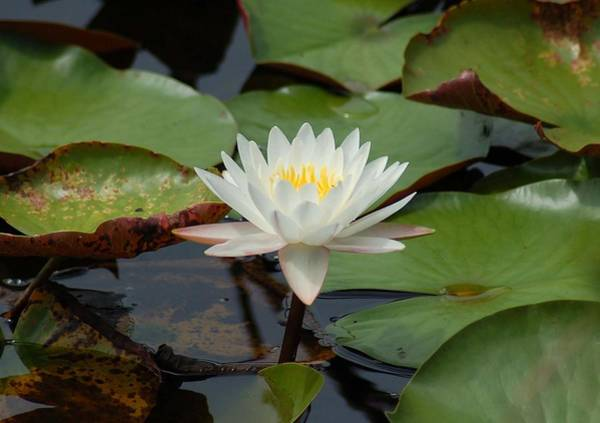 Photograph - Floating Water Lilly by Michael Thomas