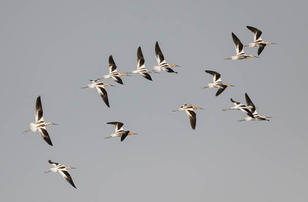Photograph - Flock Of Avocets by Loree Johnson