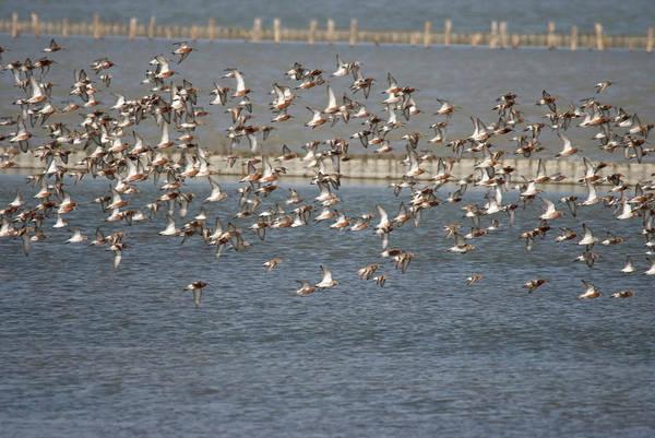 Photograph - Flock Of Birds In Flight  by Cliff Norton